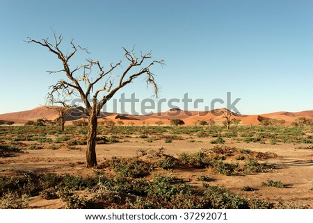 Dry tree in Namib desert, picture taken in Namibia, Africa - stock photo