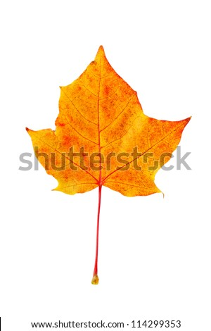 dry yellow fallen autumn leaf isolated on a white background - stock photo