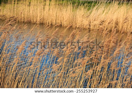 Dry yellow reed along the rippling water in winter - stock photo