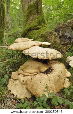 Dryad's Saddle Bracket fungi - Polyporus squamosusin woodland habitat - stock photo