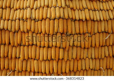 Drying corn, Process to prepare seed for planting.  - stock photo