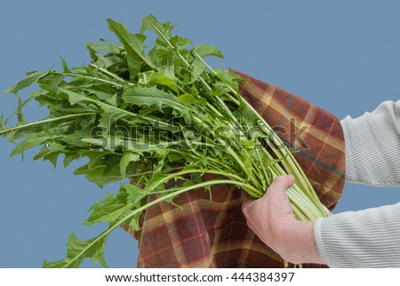 Drying Freshly Washed Dandelion Greens with Towel - stock photo