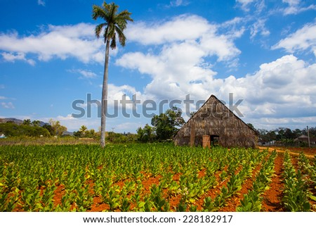 Drying shed and tobacco plantation in Vinales Cuba - stock photo