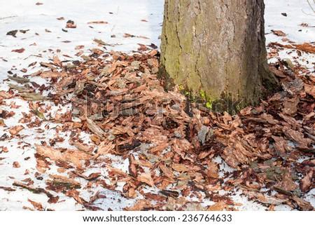 Dryocopus martius, Black Woodpecker. Russia, Moscow Timirjazevsky park. - stock photo