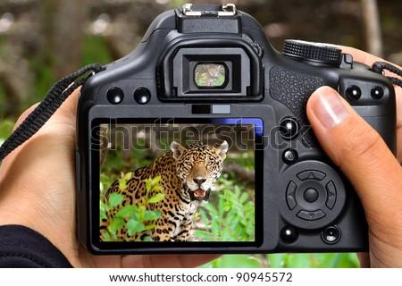 DSLR  camera in hand shooting jaguar in wildlife (my photo) - stock photo