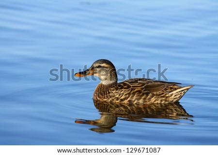 Duck - stock photo