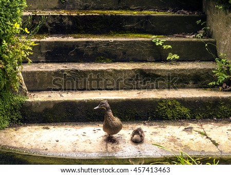 Duck and Duckling on steps by waters edge - with their reflections in the water - stock photo