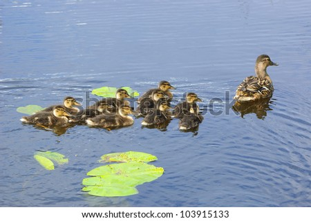 Duck and ducklings - stock photo
