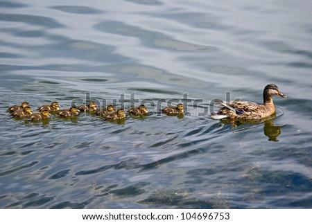 Duck and ten ducklings - stock photo