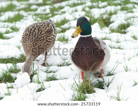 Duck couple is searching for the forage among the snow on the grass - stock photo