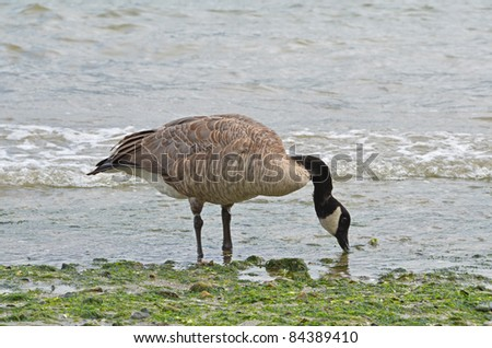 Duck drinking water at Stanley Park, Vancouver - stock photo