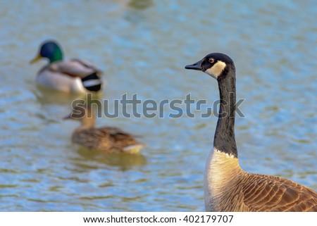 Duck, Duck, Goose Canadian goose watching as two mallards swim away - stock photo