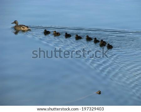 Duck flock - stock photo
