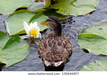Duck in a lake - stock photo