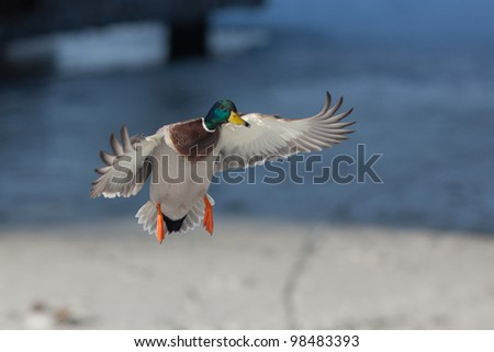 duck in flight over the winter river - stock photo