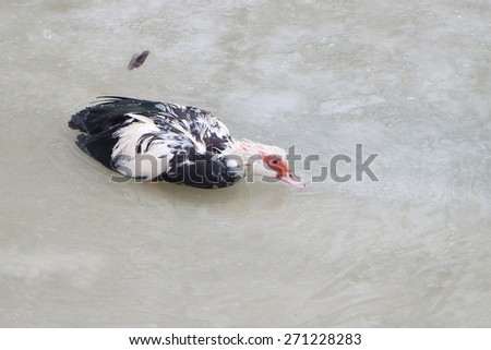 Duck in the pond thawing from ice in the spring - stock photo