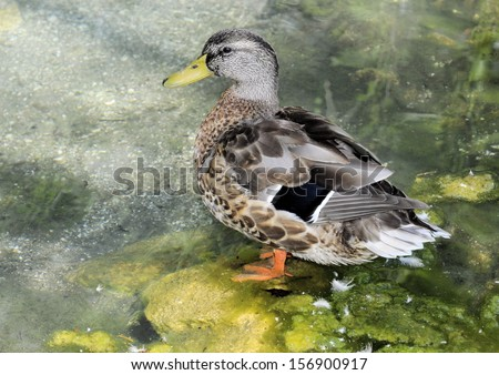 Duck in the wild of South Florida / Like a Duck in Water - stock photo