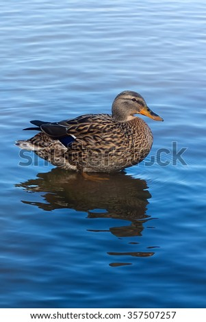 Duck in water. Duck floating in a pond. Waterfowl. Beautiful duck close. Birds of migratory birds. Ornithology. - stock photo