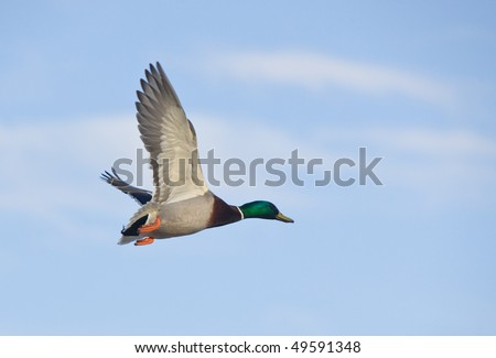 Duck (male) in flight against the sky - stock photo
