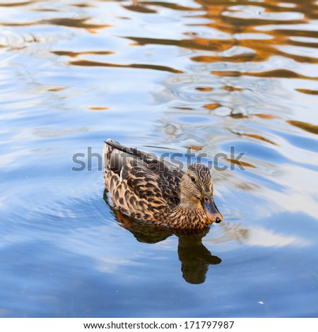duck on a pond - stock photo