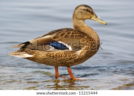 duck on a shore - stock photo