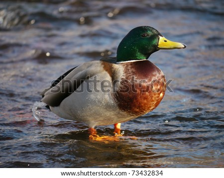 Duck on the river in winter - stock photo