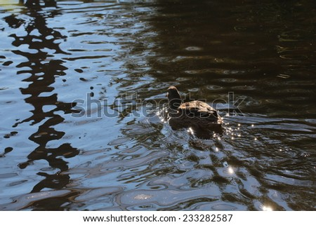 duck on water - stock photo
