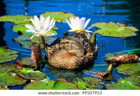 duck resting in a pond between the beautiful water lilies - stock photo