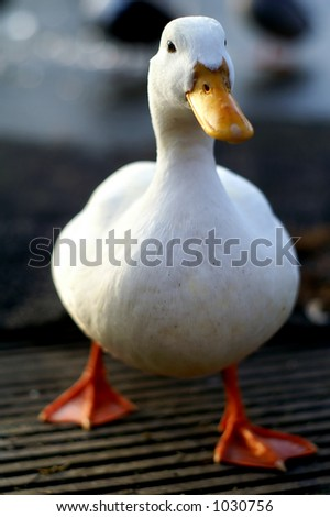 Duck series - white duck walking - stock photo