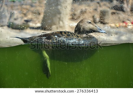 Duck swimming, animal close detail - stock photo