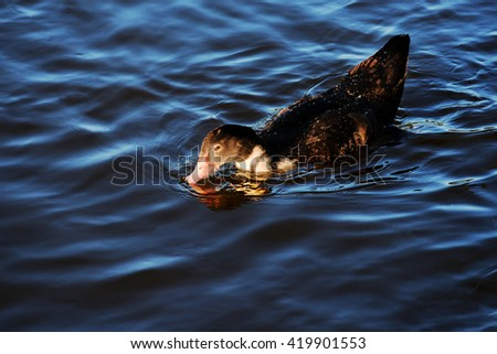 Duck swimming in lake with blue water under sunlight, Duck swims in water, Selective focus - stock photo