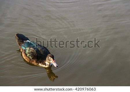 Duck swimming on pond in nature at sunrise - stock photo