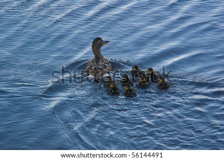 Duck swimming with newborn ducklings - stock photo