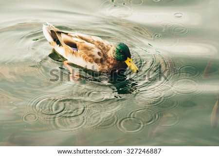 duck swims in the clear lake - stock photo