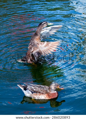 Duck waving wings on the pond. The water in the reflection of colorful blue. - stock photo
