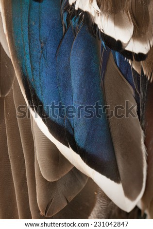 duck wings with blue feathers - stock photo