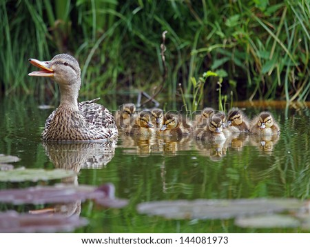 duck with chicks - stock photo