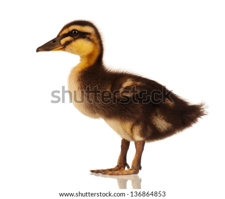 Duckling isolated on white background - stock photo
