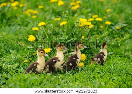 duckling on the green grass - stock photo