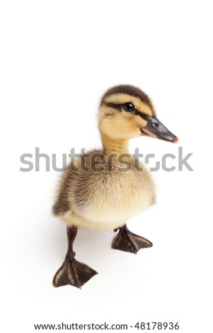 duckling standing isolated on white - young baby female Mallard duck closeup (Anas platyrhynchos) - stock photo