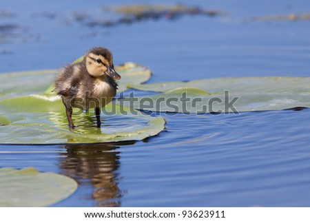 Duckling standing on a water lily leaf - stock photo