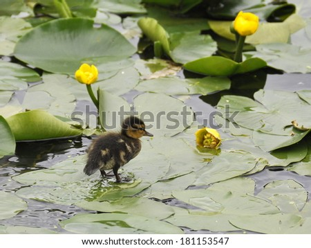 Duckling standing on water lily leaves - stock photo