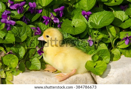 Duckling young baby duck on violet flowers. Spring portrait. - stock photo