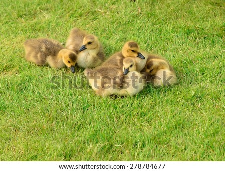 Ducklings are on the meadow - stock photo