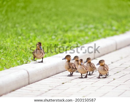 Ducklings walking on the road - stock photo