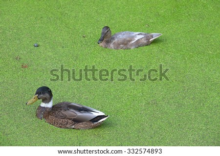 Ducks - stock photo