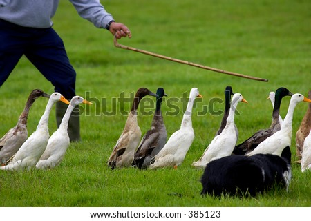 ducks being herded into a pen by farmer and sheep dog - stock photo