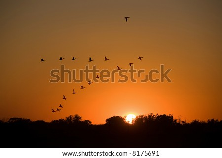 Ducks flying to the sunset. - stock photo