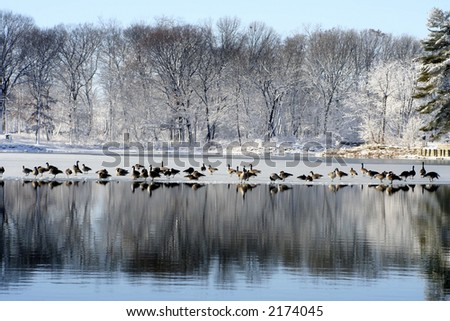 ducks in christmas time - stock photo