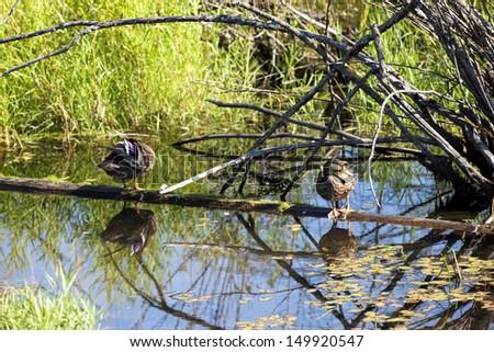 Ducks on floating log at Fernan Lake, Idaho. - stock photo